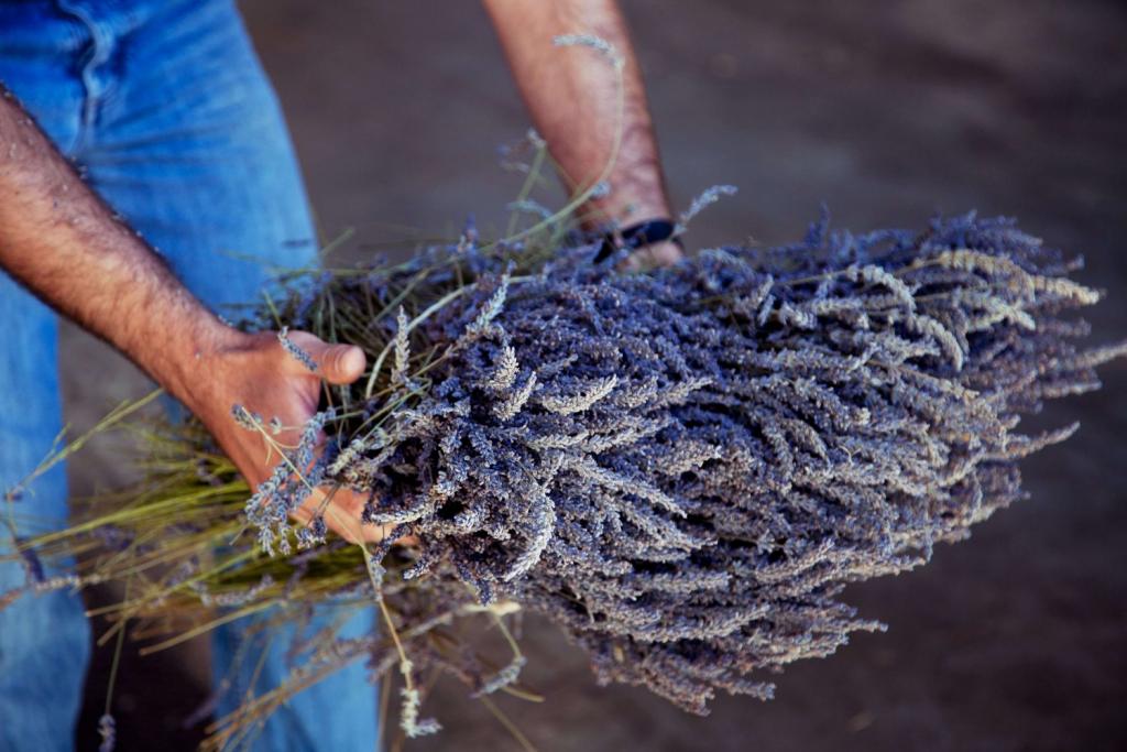 Вести с полей: как выращивают лаванду в Провансе-Фото 1