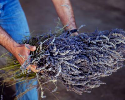 Вести с полей: как выращивают лаванду в Провансе-430x480