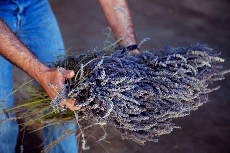 Вести с полей: как выращивают лаванду в Провансе-320x180