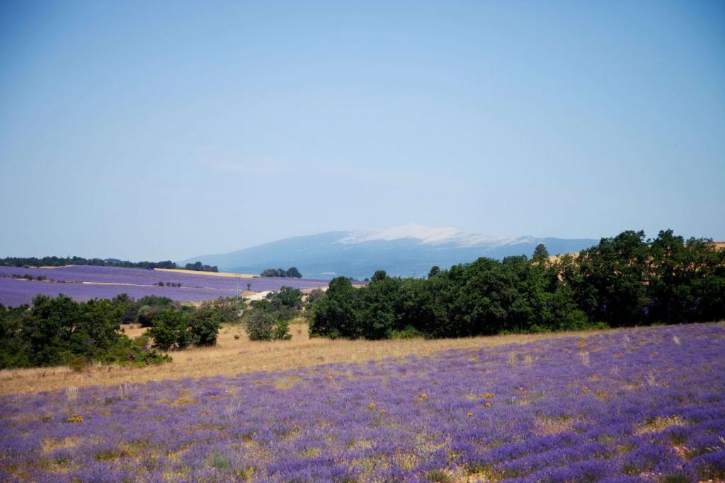 Вести с полей: как выращивают лаванду в Провансе-Фото 2