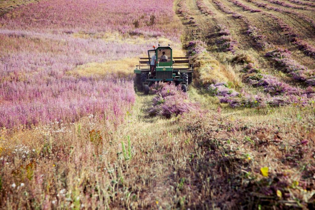 Вести с полей: как выращивают лаванду в Провансе-Фото 4