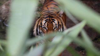 У тигрицы из зоопарка в США диагностировали COVID-19. Его обнаружили после продолжительного сухого кашля-320x180