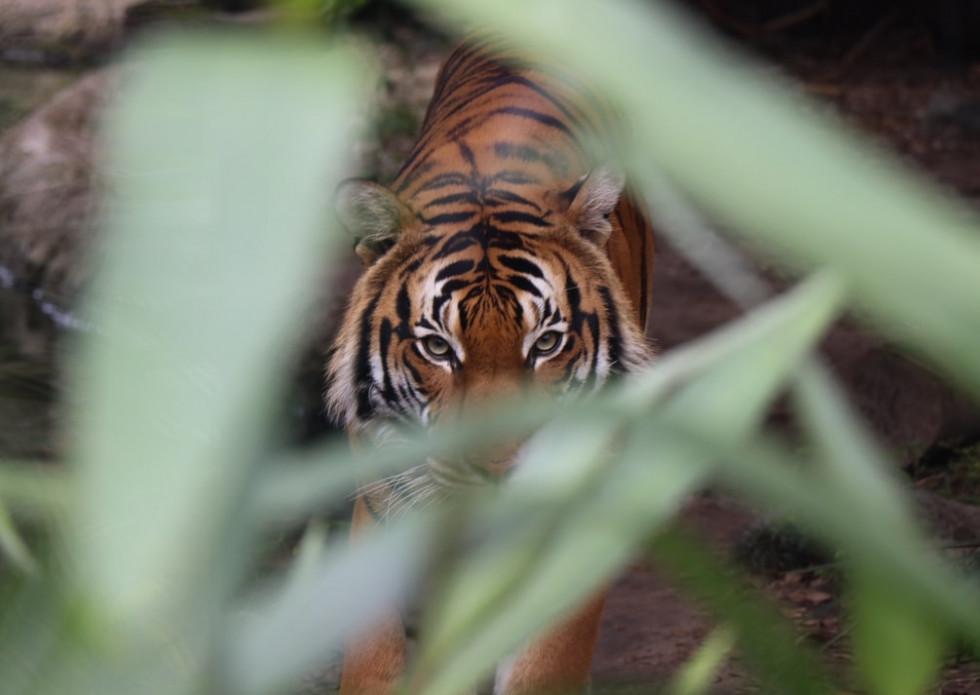 У тигрицы из зоопарка в США диагностировали COVID-19. Его обнаружили после продолжительного сухого кашля-Фото 1