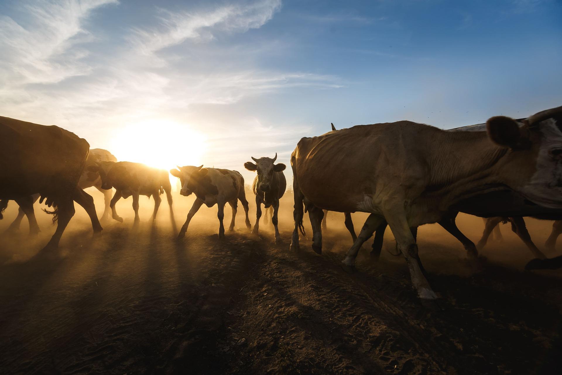 Випас корів на заході сонця, Таврія. 18 серпня 2020 року. Спецпроєкт «Національні спільноти». Фото: Юрій Стефаняк.