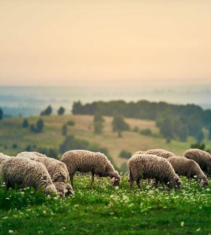 Полишити бізнес у Луцьку, щоб створити овечу ферму.  Історія садиби зеленого туризму «Хутір Касень»-430x480