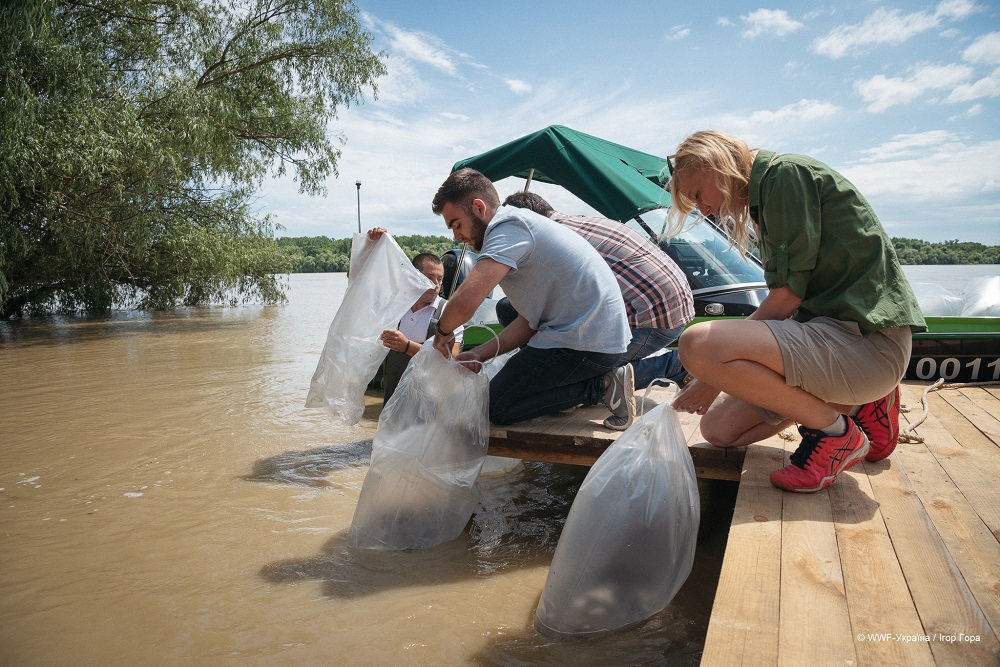 WWF-Україна випустив у Дунай 10 000 мальків червонокнижної стерляді прісноводної-Фото 5