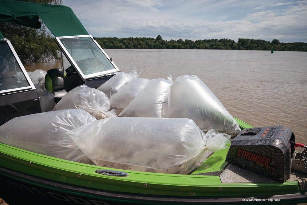 WWF-Україна випустив у Дунай 10 000 мальків червонокнижної стерляді прісноводної-Фото 3